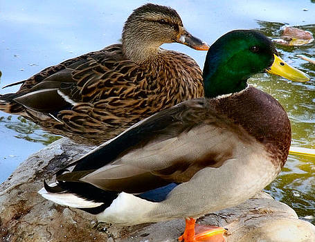 Ducky Couple by Kathleen Storey