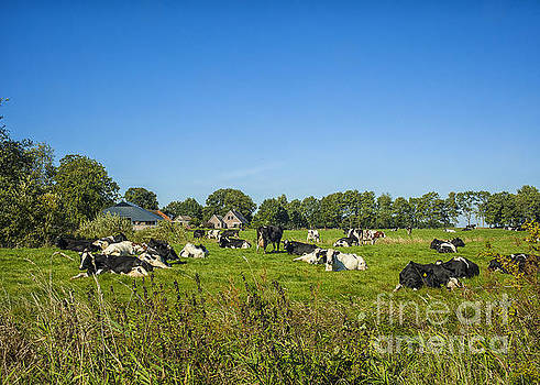 Patricia Hofmeester - Dutch cows on pastures