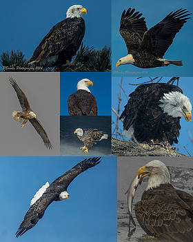 Eagle Composite by Paul Brooks
