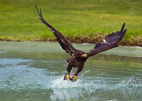 Eagle hunting  by Dean Bertoncelj