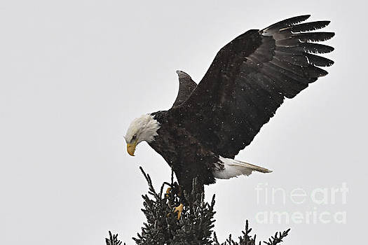 Larry Ricker - Eagle in a Snow Shower