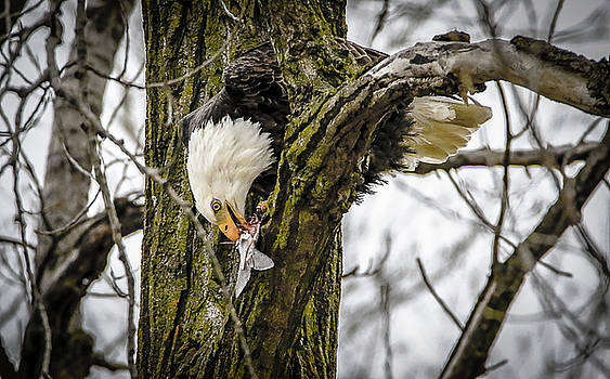 Eagle In A Tree Eating A Fish by Ray Congrove
