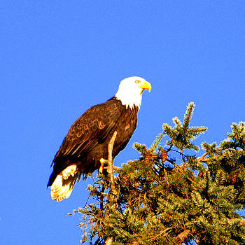 Eagle by Jerry Cahill
