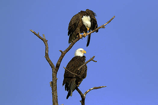 Eagle Roost by David Yunker
