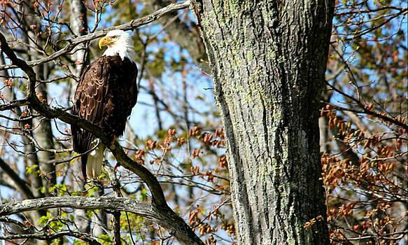 Eagle by Sheila Werth