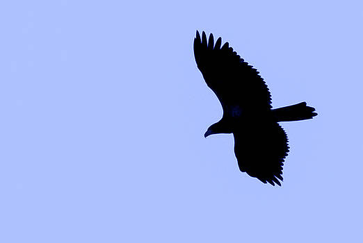 Eagle Sky by Ray Congrove