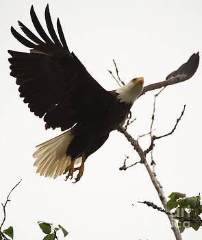 Eagle Takeoff by Adrienne Franklin