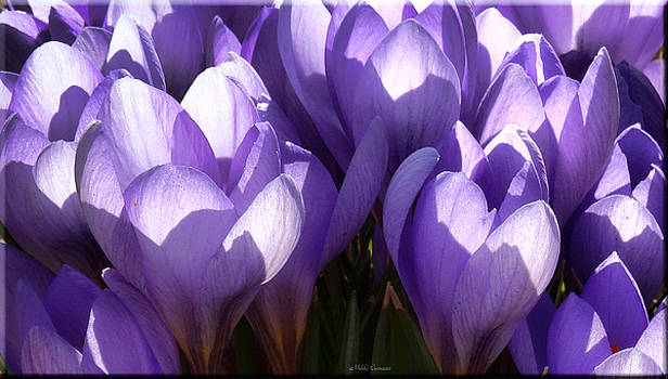 Early Crocus by Mikki Cucuzzo