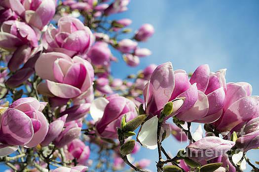 Early Spring Magnolia by Angela DeFrias