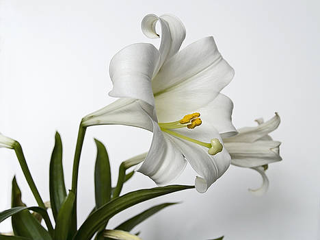 Easter Lilly by Andrew Kazmierski