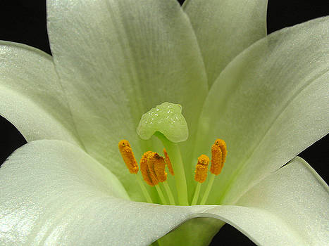 Juergen Roth - Easter Lily Floral