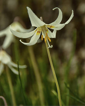 Marilyn Wilson - Wild Easter Lily 2