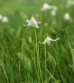 Marilyn Wilson - Wild Easter Lillies