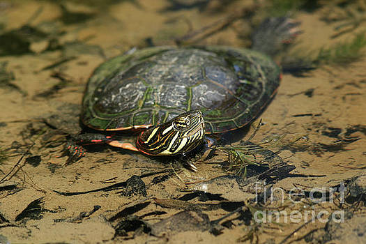 Eastern Painted Turtle by Judy Whitton