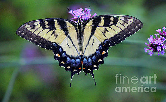 Eastern Tiger Swallowtail Butterfly 2016 by Karen Adams