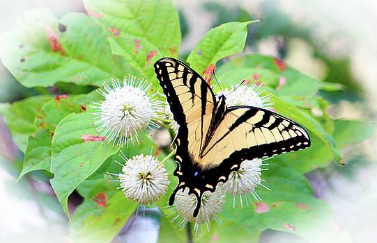 Eastern Tiger Swallowtail by Cynthia Guinn