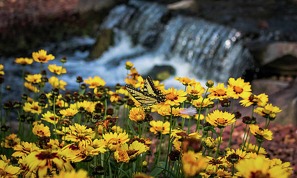Dale Jackson - Eastern Tiger Swallowtail