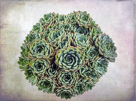 Echeveria Succulent  by Catherine Lau