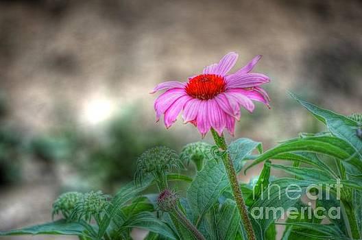 Echinacea by Brenda Bostic