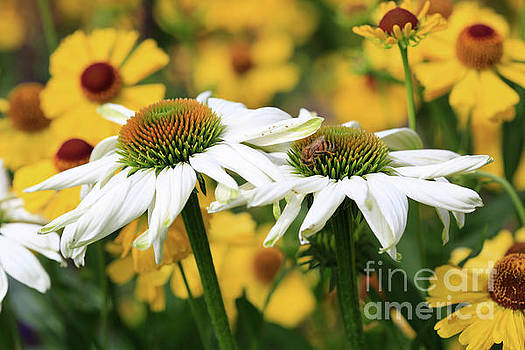 Echinacea Coneflowers by Tracy Hall