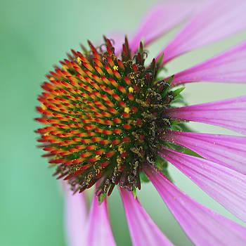 Echinacea Flower by Brady Lane