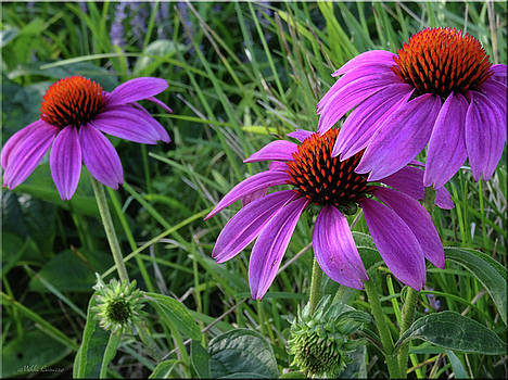 Echinacea by Mikki Cucuzzo