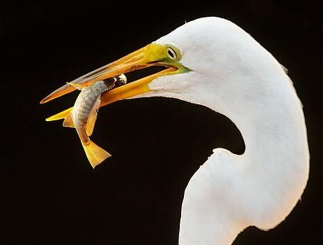 Paulette Thomas - Egret Catching A Fish