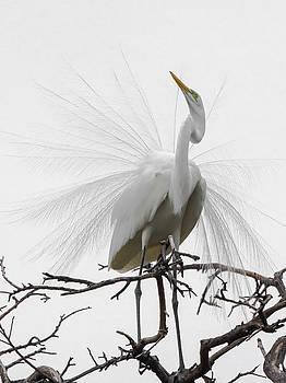 Egret Dancing by Linda Dyer Kennedy