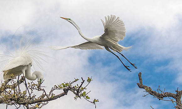 Egret Grace by Kelly Marquardt