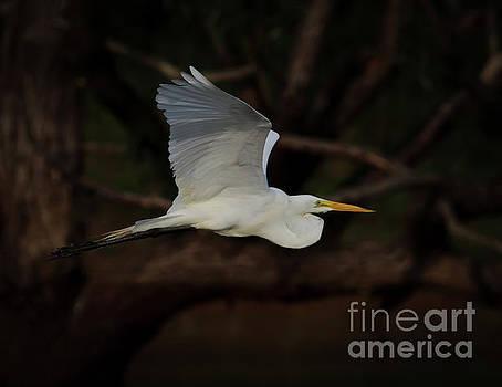 Egret in Flight by Douglas Stucky