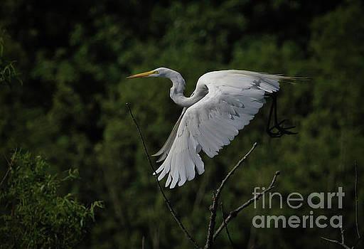 Egret in Flight II by Douglas Stucky