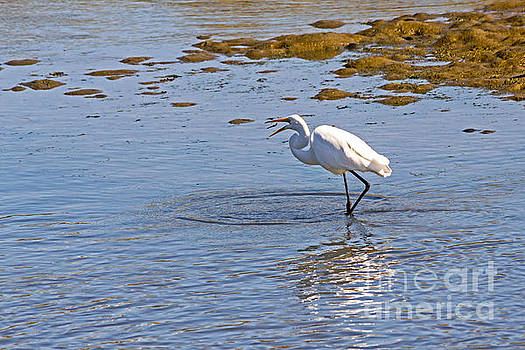 Egret Makes a Catch by Kate Brown