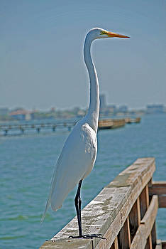 Egret by Peter  McIntosh