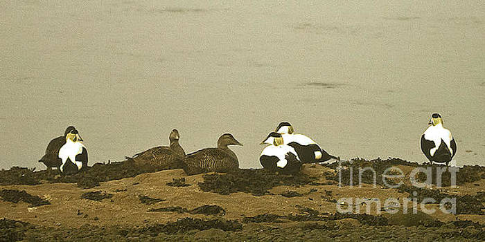 Eider Duck on the Estuary by Liz Alderdice