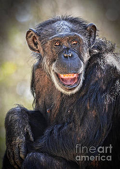 Elderly Chimp Enjoying the Warm Summer Afternoon by Jim Fitzpatrick