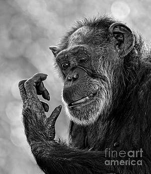 Elderly Chimp Studying Her Hand by Jim Fitzpatrick