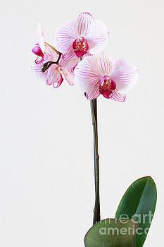 Elegant Orchid by Anita Oakley