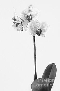 Elegant Orchid II by Anita Oakley