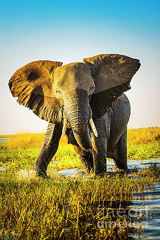 Elephant Charging by Tim Hester