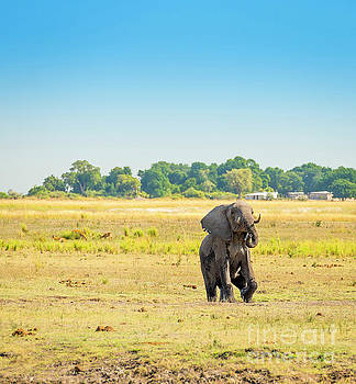 Elephant in Chobe National Park Botswana by Tim Hester