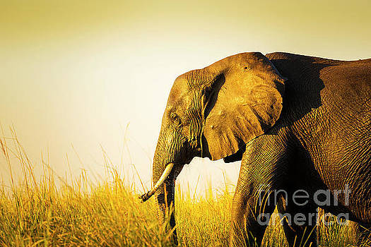 Elephant In Long Grass by Tim Hester