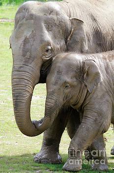 Elephant love by Steev Stamford