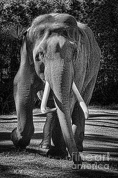 Elephant Portrait by Norma Warden