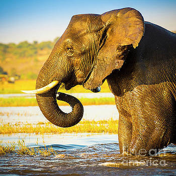 Elephant Portrait  by Tim Hester
