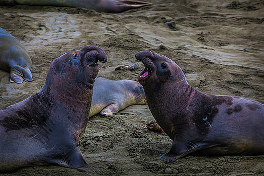 Elephant Seals Challenging Each other by Garry Gay