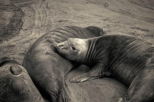 David Gordon - Elephant Seals IV Toned