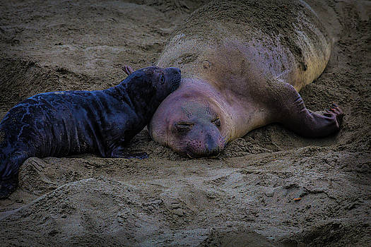 Elephant Seals Mom And Pup by Garry Gay