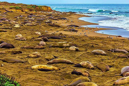 Elephant Seals Near Cambria  by Garry Gay