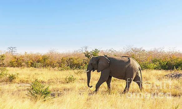Tim Hester - Elephant