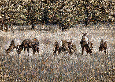 Elk Grazing by Jim Hill